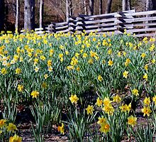 Hills Of Daffodils iPad Case by Betty Northcutt