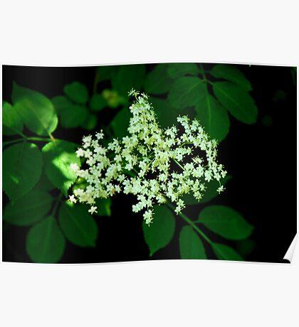 Wild Elder Flower   Normandy, France Poster