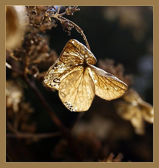 Hydrangea in autumn sun by hanslittel