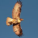 1103121 Red Tailed Hawk by Marvin Collins