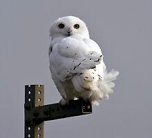 Snowy Owl by Caren della Cioppa