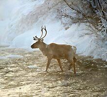 Caribou in the Mist by Caren della Cioppa