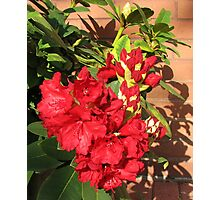 Red Rhodo Buds and Blossoms Photographic Print