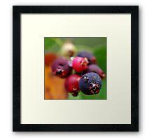A Drop on a Saskatoon Berry Framed Print