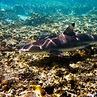 Black Tip Reef Shark - Great Barrier Reef Marine Park by Jaxybelle