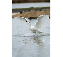 Bewick's swan about to land on water with wings outspread Photographic Print