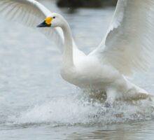Bewick's swan about to land on water with wings outspread Sticker