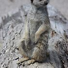 meerkat portrait by gaylene