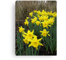 Daffodils in Woodland Canvas Print