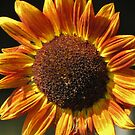 Autumn Sunflower by lorilee