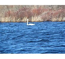 Swan's serenity Photographic Print