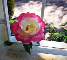 Rose Two - 10 11 12 by Robert Phillips