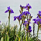 Coastal Irises 3 by Susie Peek