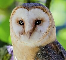 European Barn Owl by Dave  Knowles