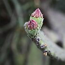 Pink Buds Of The Opuntia  by Saraswati-she