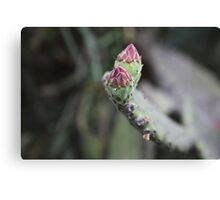 Pink Buds Of The Opuntia  Canvas Print