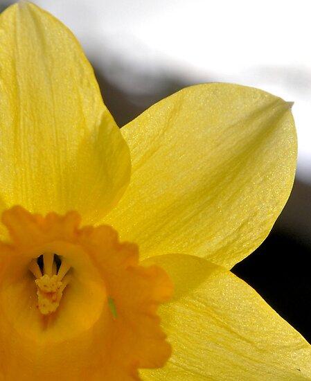 Daffodil by MuddyNoSugar