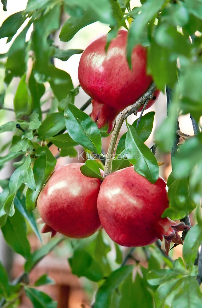 Pomegranate Ripening On It's Branch by Kuzeytac