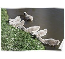 Cygnets- Baby Black Swans Poster