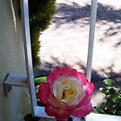 Rose Three - 10 11 12 by Robert Phillips