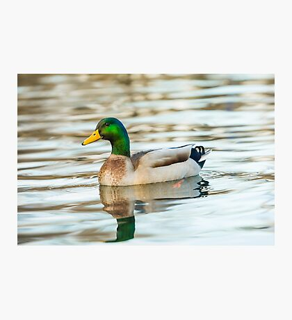 Mallard duck  Photographic Print