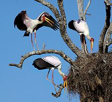 YELLOW BILLED STORKS - SOUTH AFRICA by Michael Sheridan