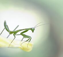 Young mantis by jimmy hoffman