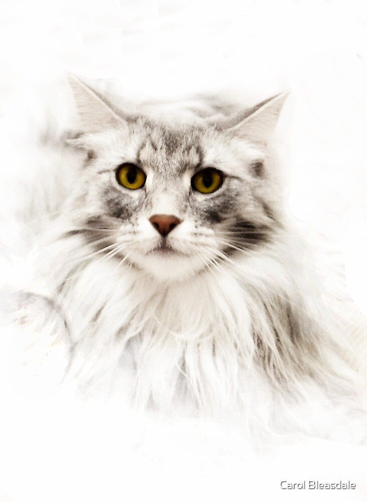 Maine Coon by Carol Bleasdale