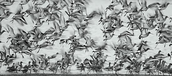 Godwits by Neil Bygrave (NATURELENS)