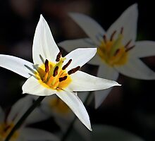 White Star by cclaude