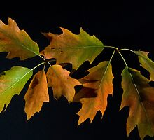 Oak Leave, 2 by Lee LaFontaine