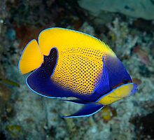 Majestic angelfish - Pomacanthus navarcus by Andrew Trevor-Jones