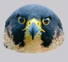 The Eyes of a Peregrine Falcon by Dave  Knowles