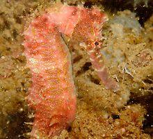 Thorny Seahorse - Hippocampus histrix by Andrew Trevor-Jones