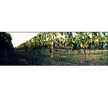 Greek vineyard Photographic Print