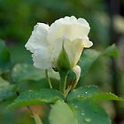 White rose by PetraEs