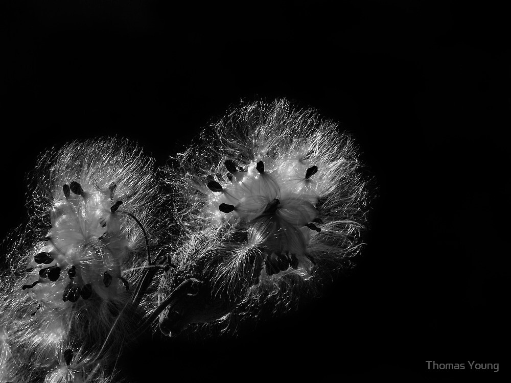 Black and White Milk Weed  by Thomas Young