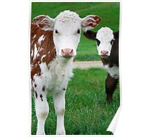 Two Calves Poster