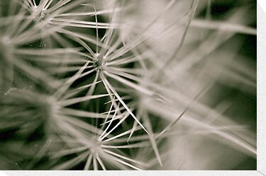 Cacti B&W by David Toolan