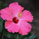 Pink Hibiscus by Rose Landry