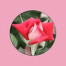 Red Rose on Pink Case by STHogan