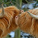 Kissing Cows by RoystonVasey