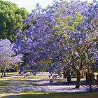 Purple Memories - A Jacaranda Story by Fiona Allan Photography