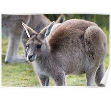 Grazing Kangaroo Poster