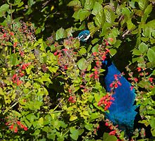 Peacock hiding in the bush by nscphotography