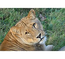 Lioness looking towards camera Photographic Print