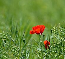 Red Poppy by Sue Robinson