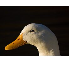 Pekin Duck Photographic Print
