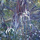 Spiders at Bullock Hills Dumbleyung by scallyart