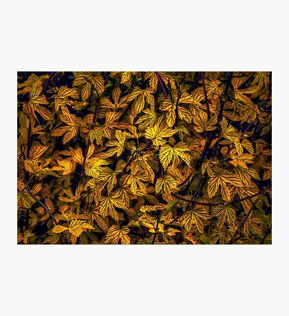 Gold Rush Photographic Print